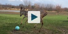 Fawn playing ball