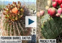 Fishhook Barrel Cactus and Prickly Pear