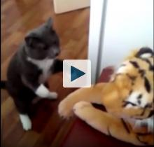 Cat with stuffed tiger