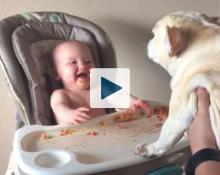 Baby laughing at bulldog