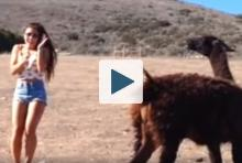 Llama spitting on a woman
