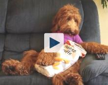 Dog eating Cheese Puffs and sitting in a chair