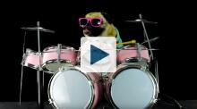 Pug puppy playing drums