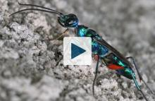 An emerald cockroach wasp or jewel wasp (Ampulex compressa)